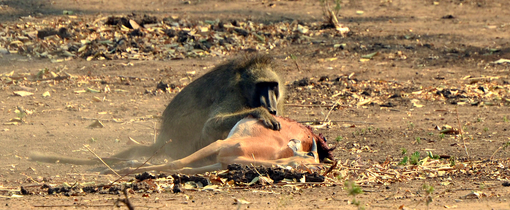 Baboon eats impala at Mana poolsin Zimbabwe